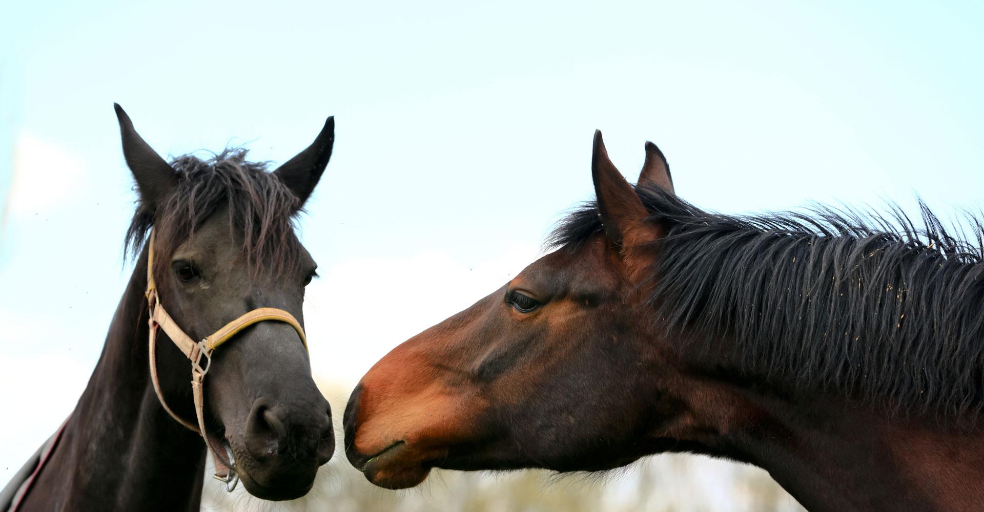Pferdebussi